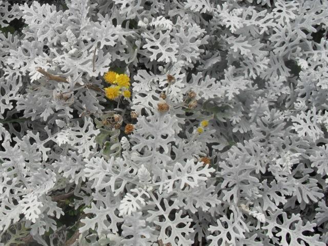 Le feuillage couleur argent. 074_210
