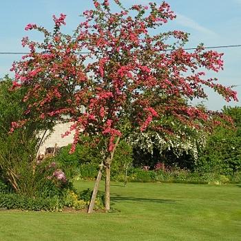 Crataegus laevigata 'Crimson Cloud' -Aubépine rose   Arbre-10