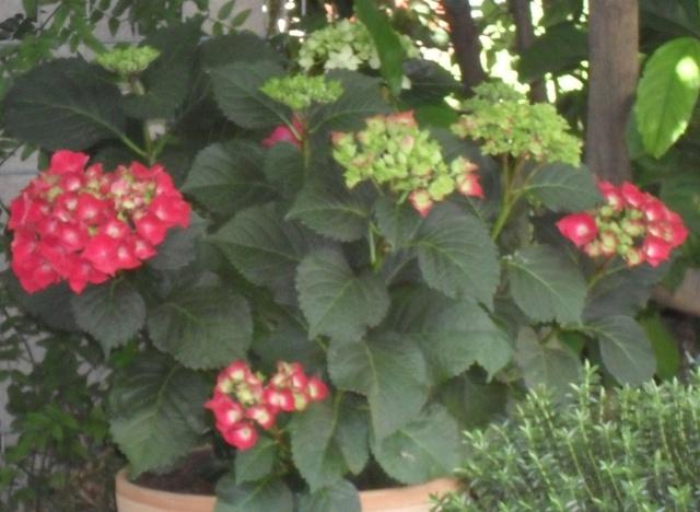 Hydrangea   Hortensia des jardins - Page 2 Ortent10