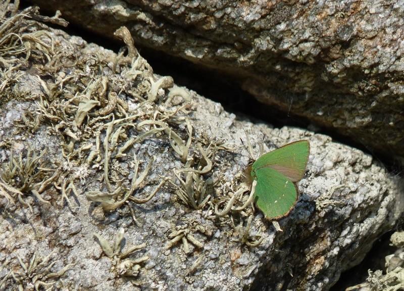[callophrys rubi] Vert comme ... Pap_0110
