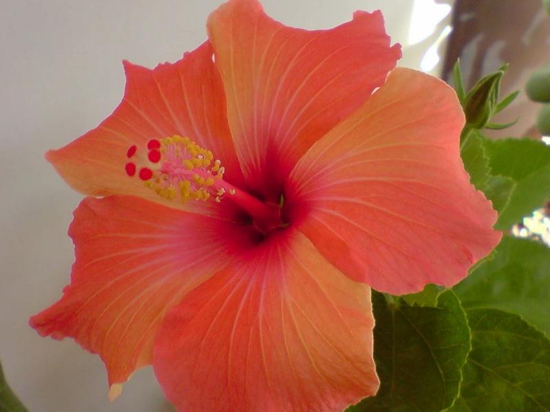 Hibiscus rosa sinensis P2810115