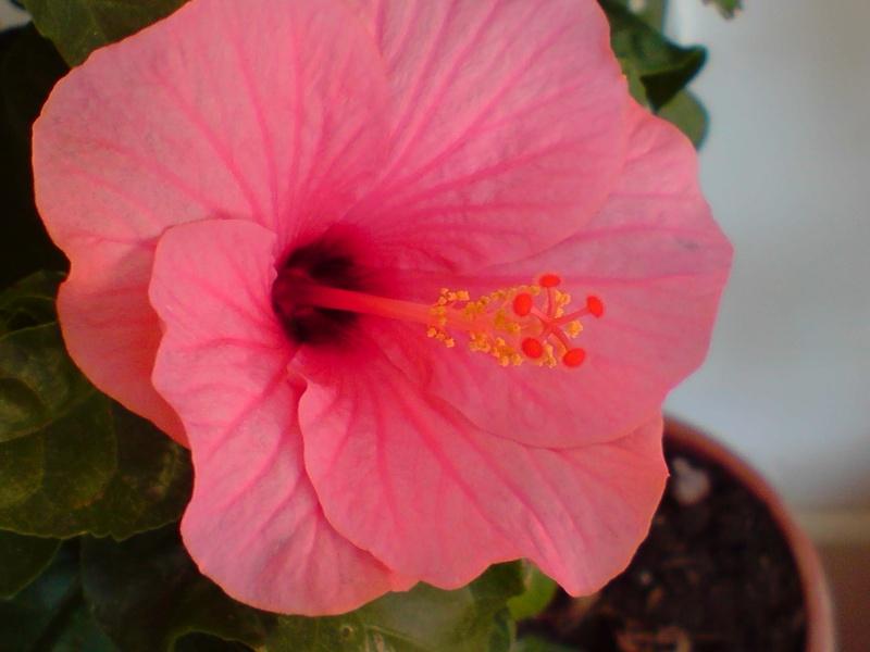 Hibiscus rosa sinensis P2810116