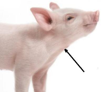 Benarkah Babi diharamkan? - Page 3 Babi10