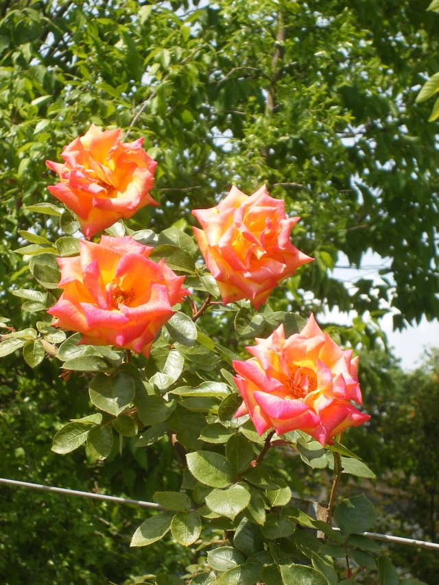 "Rosa ""Rouge et or"" Dscf0110"