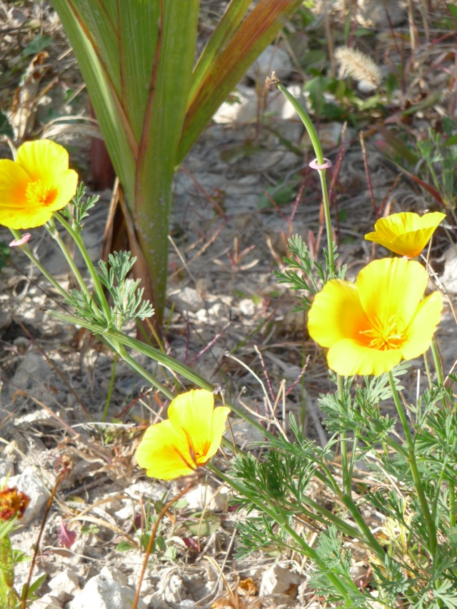 Eschscholzia californica , ou Pavot de Californie. Eschsc10