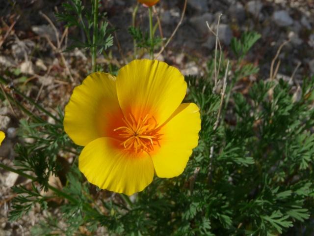 Eschscholzia californica , ou Pavot de Californie. Eschsc11