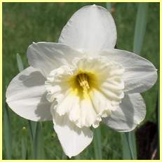 """Narcissus """"Mount Hood"""" Narcis11"""
