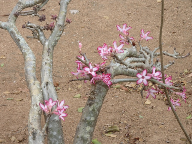 Sauvage sud africaine: Adenium obesum  P1010210