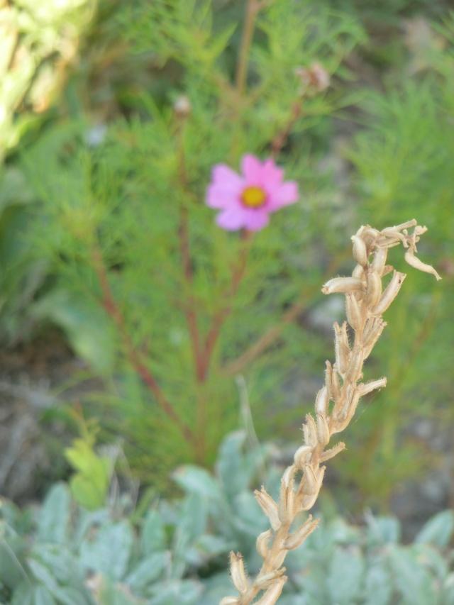 Oenothera biennis  - Page 3 P1100729
