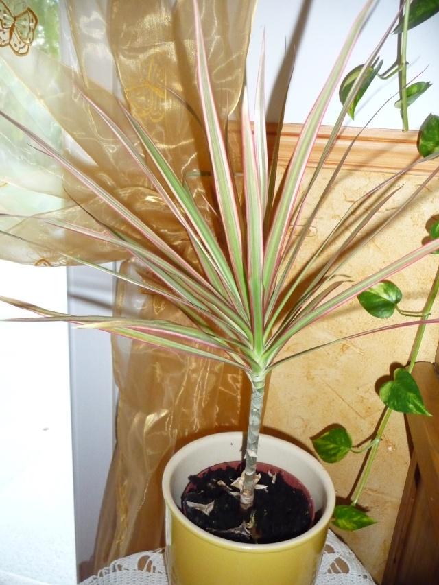 Identif 2 Dracaena marginata P1110020