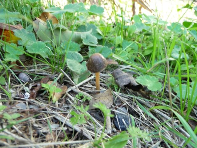 Petit champignon marron foncé. P1110211