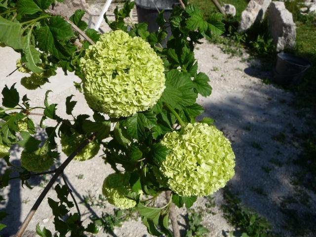 Viburnum opulus, Viorne obier, Boule de neige P1130012