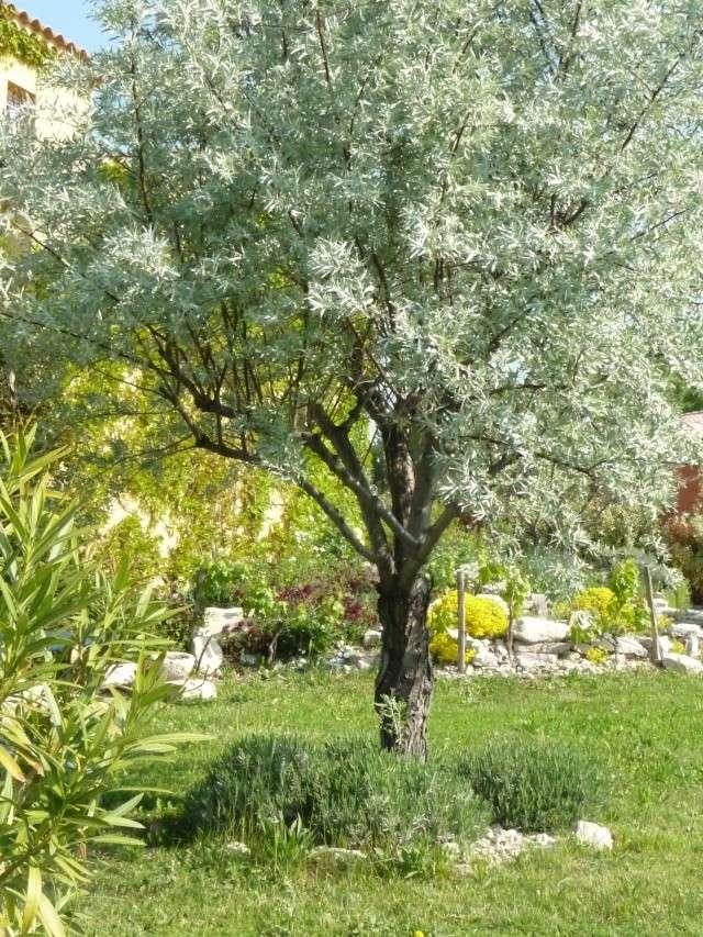 Elaeagnus angustifolia, Olivier de Bohême P1130326