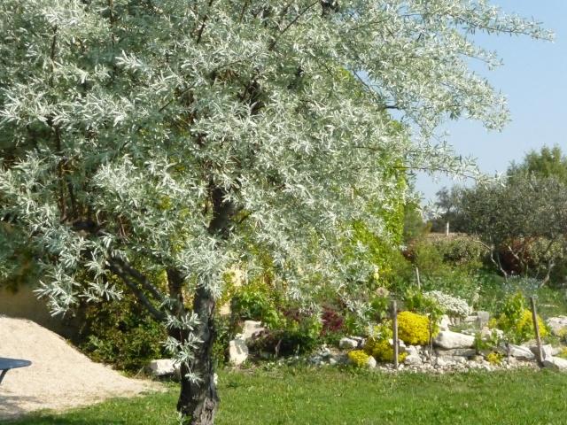 Elaeagnus angustifolia, Olivier de Bohême P1130327