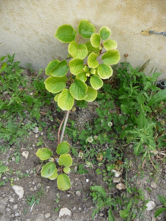 actinidia fruit kiwi - Page 3 P1140110