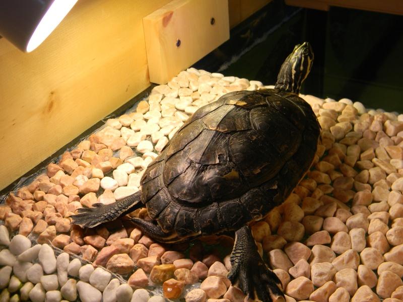 Présentation de mes tortues 00415