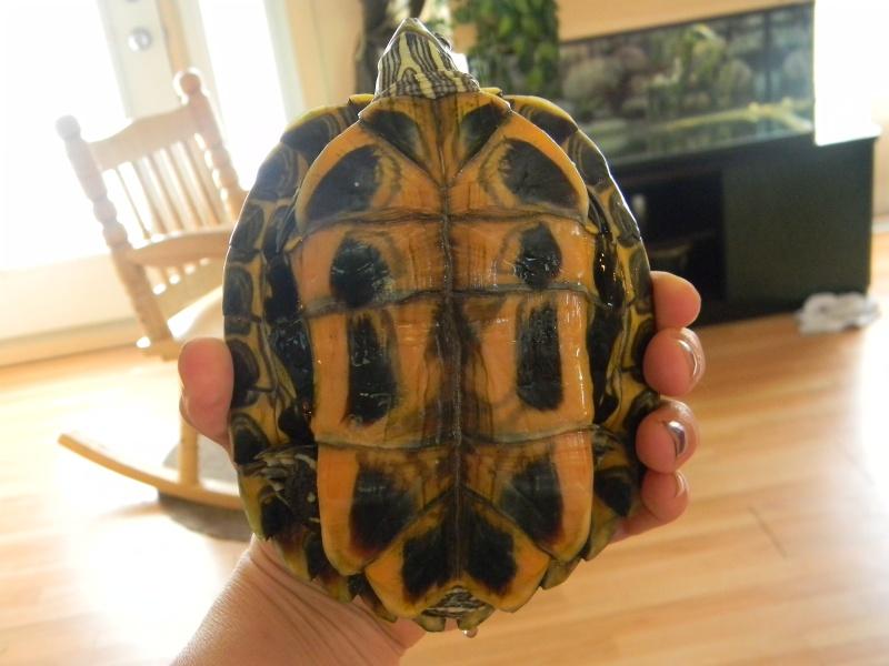 Encore une nouvelle tortue... 01810