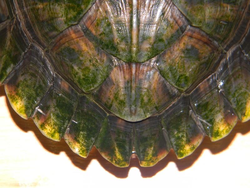 Encore une nouvelle tortue... 01911