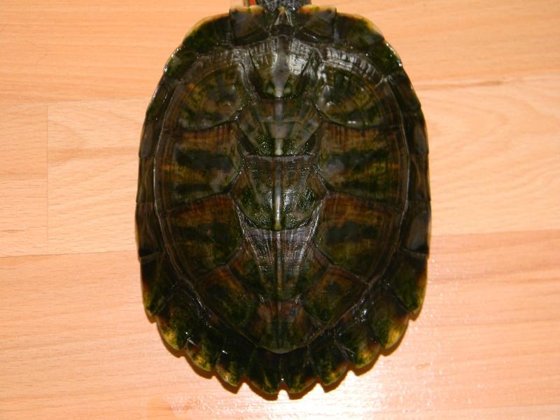 Encore une nouvelle tortue... 02019