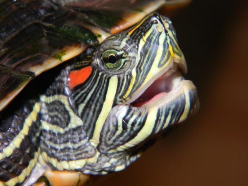 Encore une nouvelle tortue... 02411