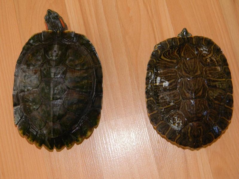 Présentation de mes tortues 02517