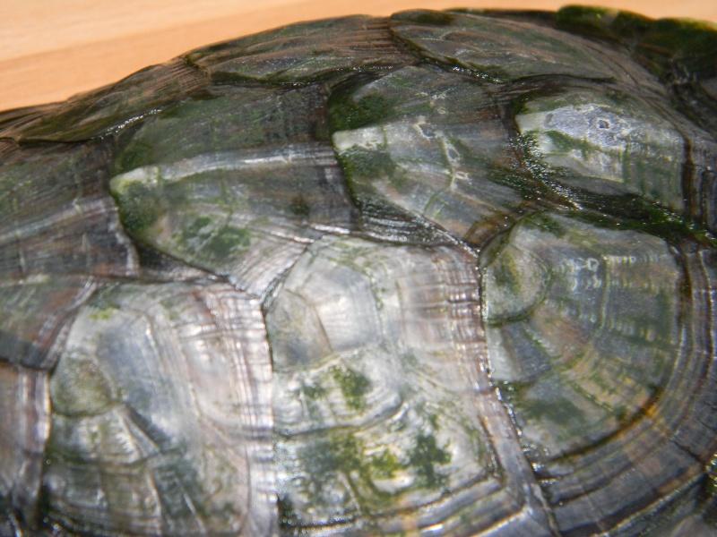 Présentation de mes tortues 02913