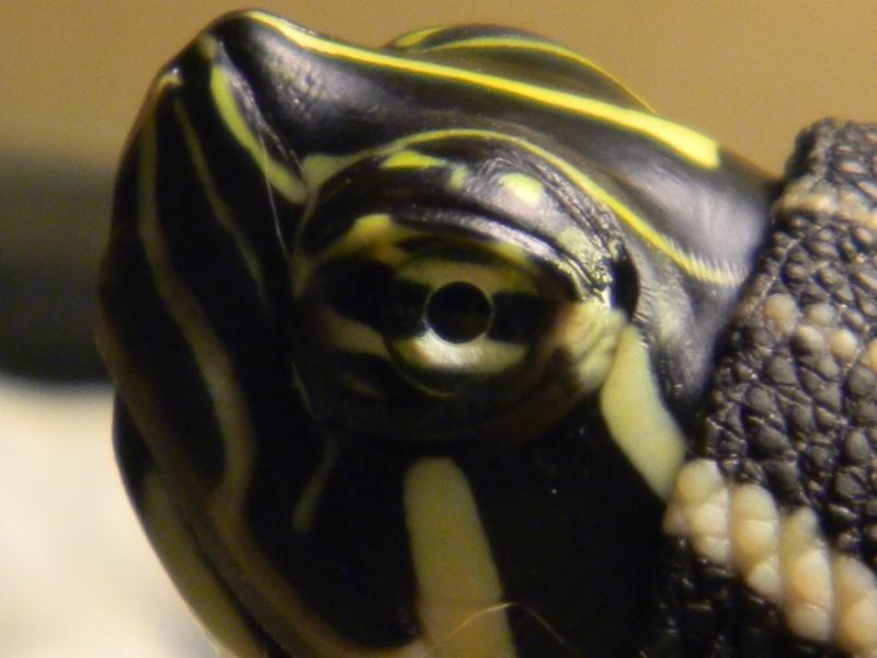 Présentation de mes tortues 03016