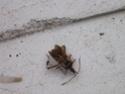 [Leptoglossus occidentalis] capricrone des maisons ? Img_0013