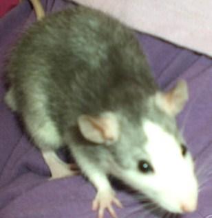 un rat husky s'éclairci en vieillissant ??? Husky_10