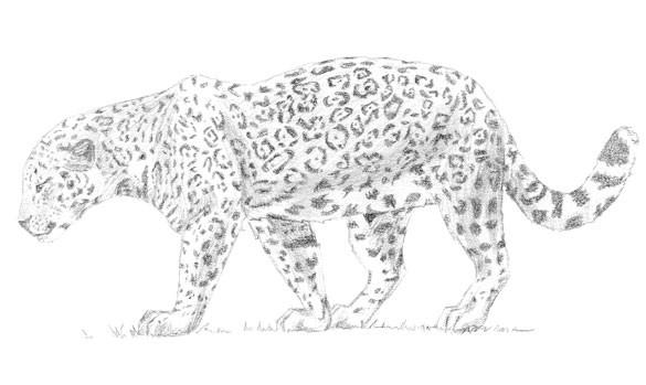 Mes dessins Jaguar10