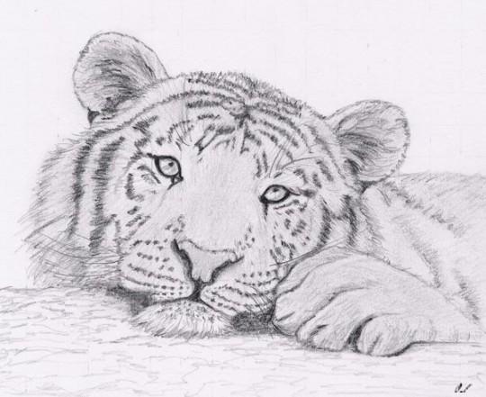 Mes dessins Tigre10