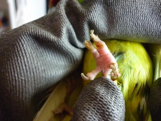 Une chute en cage, une patte inerte pour ma femelle kak P1030810