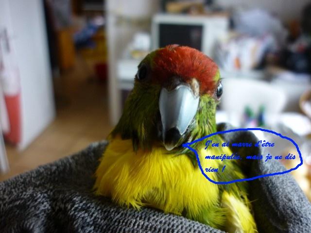 Une chute en cage, une patte inerte pour ma femelle kak P1030811