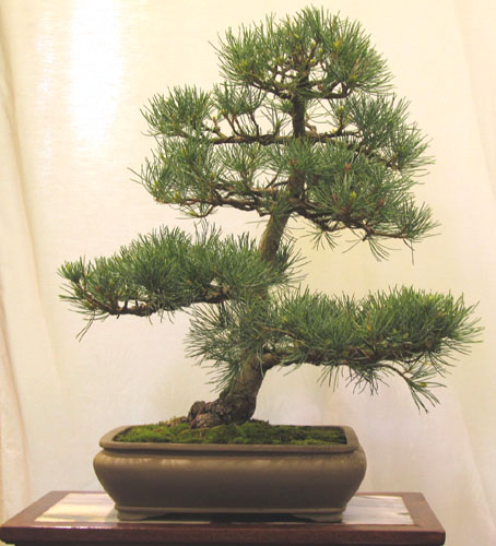 Bonsai Show in Rochester, NY, USA for Bonsai Society of Upstate New York May 21-22, 2011 Pine_010
