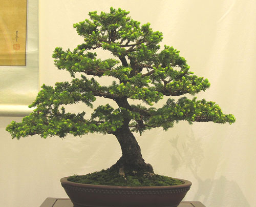 Bonsai Show in Rochester, NY, USA for Bonsai Society of Upstate New York May 21-22, 2011 Spruce10
