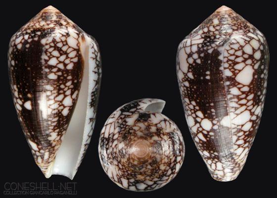 Conus (Darioconus) magnificus   Reeve, 1843 - Page 2 C_penn12
