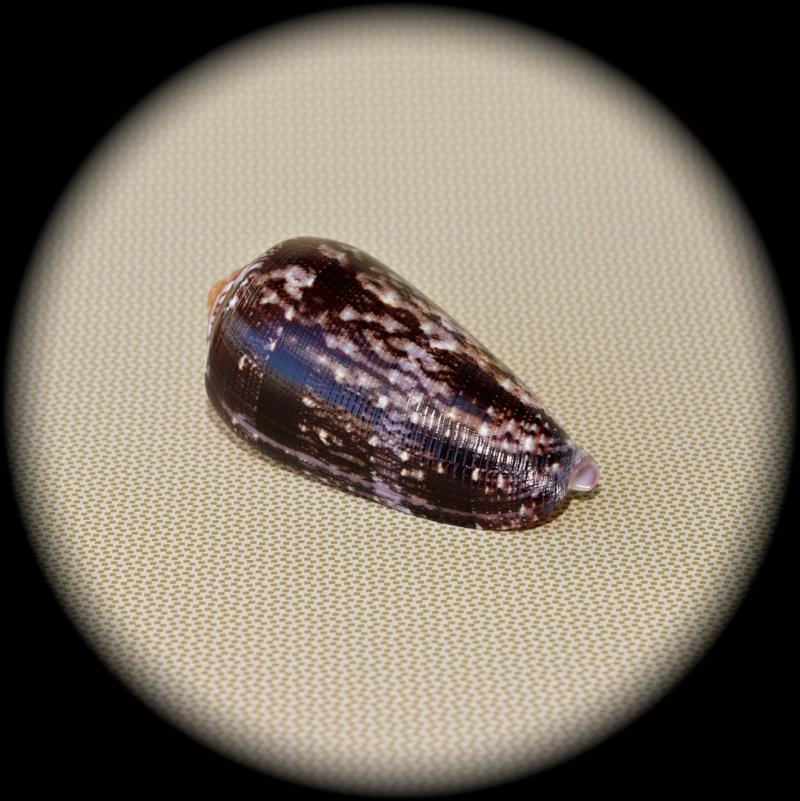 Conus (Pionoconus) floccatus   GB Sowerby I, 1841 Dsc00010