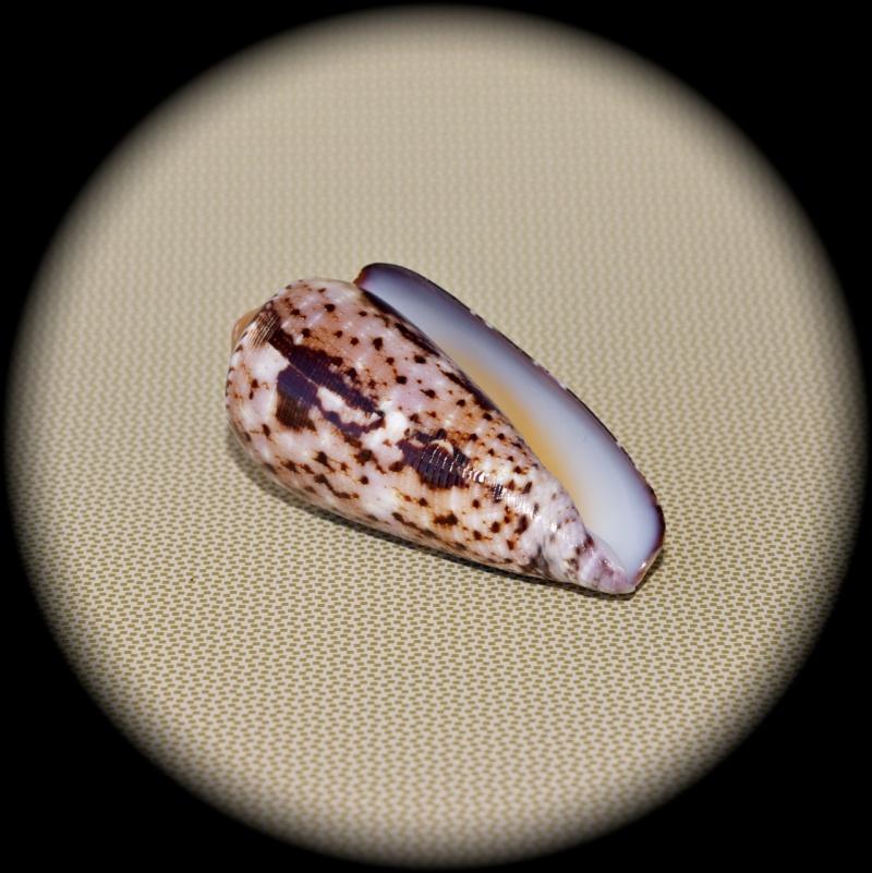 Conus (Pionoconus) floccatus   GB Sowerby I, 1841 Dsc00014