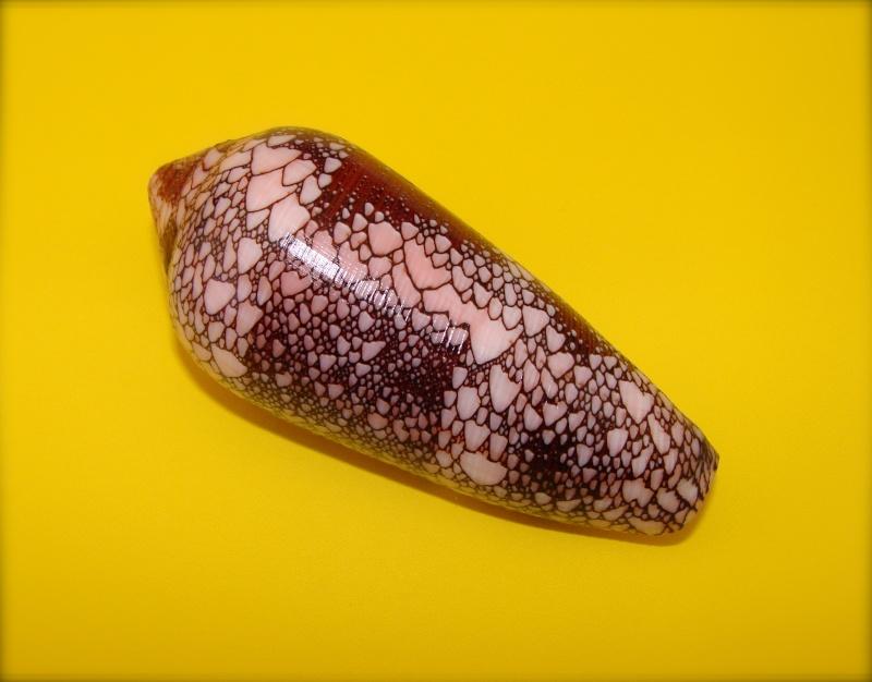 Conus (Darioconus) magnificus   Reeve, 1843 Dsc07710