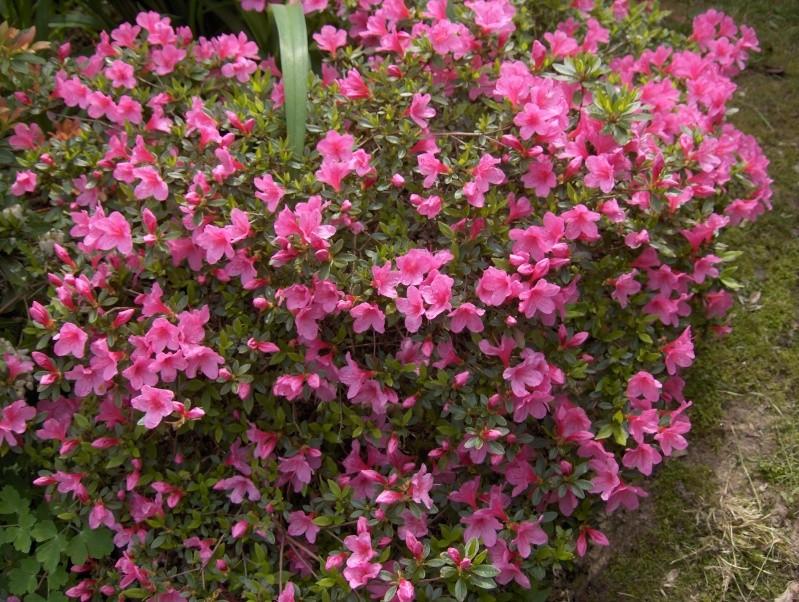 Les fleurs de mon jardin Azalae11