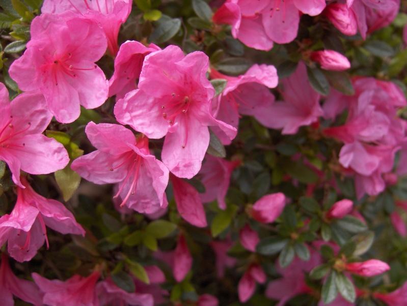 Les fleurs de mon jardin Azalae12