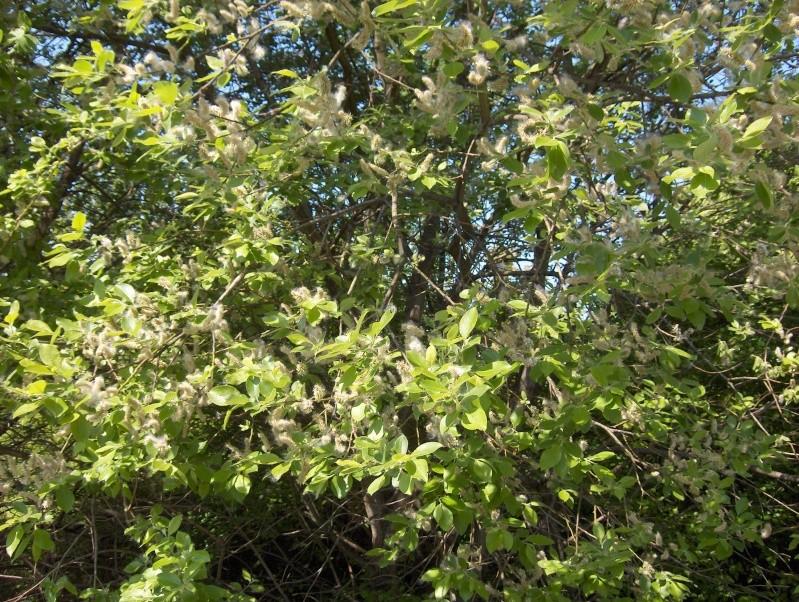 floraisons des arbres et des arbustes - Page 3 Bourge14
