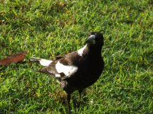 Les oiseaux des jardins australiens Cassic10