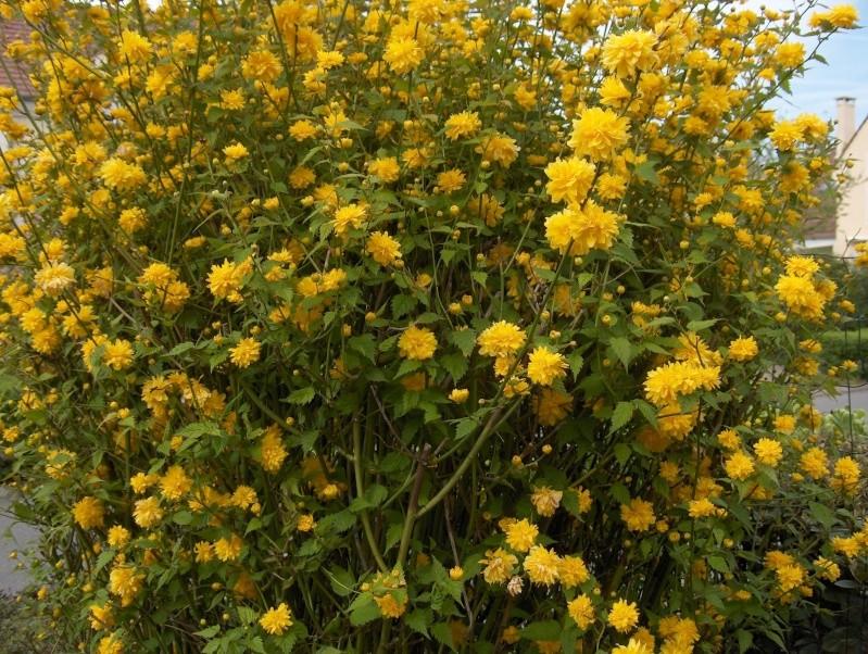 Kerria japonica Corate11