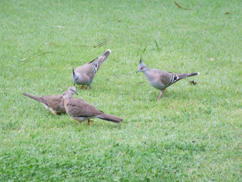 Les oiseaux des jardins australiens Des_pi10