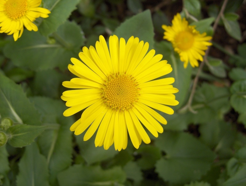 Les fleurs de mon jardin Doroni10