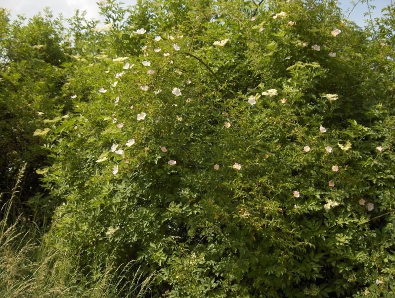floraisons des arbres et des arbustes - Page 3 Eglant12