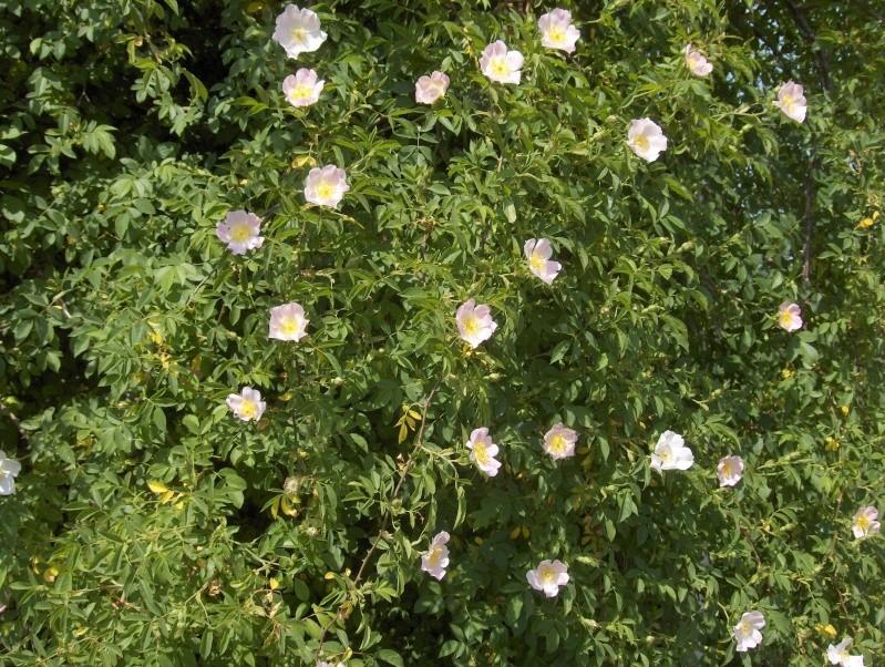 floraisons des arbres et des arbustes - Page 3 Eglant13