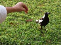 Les oiseaux des jardins australiens Elle_r10