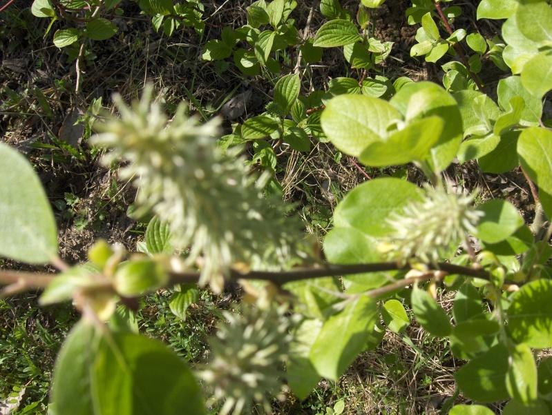 floraisons des arbres et des arbustes - Page 2 Hpim2311